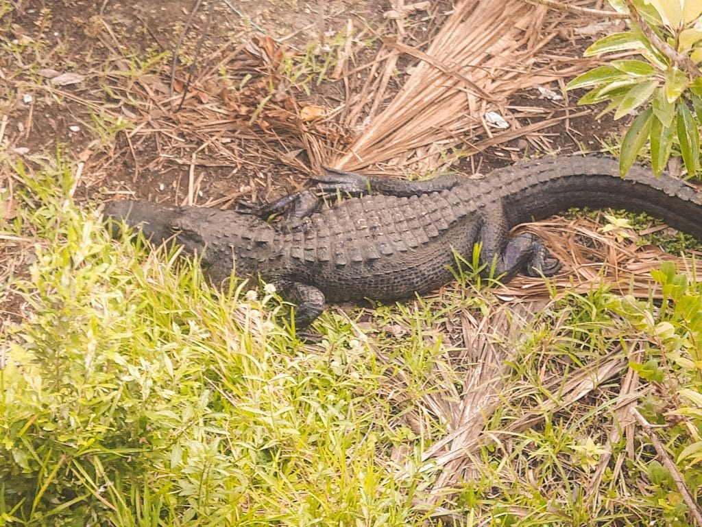 Huge alligator resting in the sun in the grass of the Everglades! #visitflorida #alligators