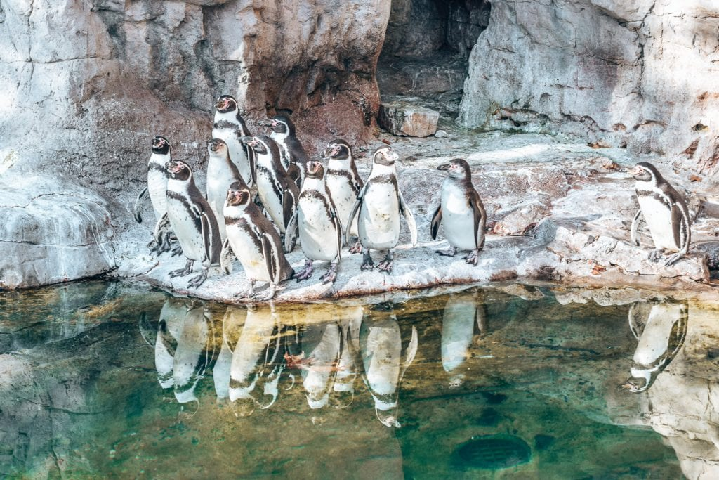 Penguins about to dive in the water in Saint Louis museum.