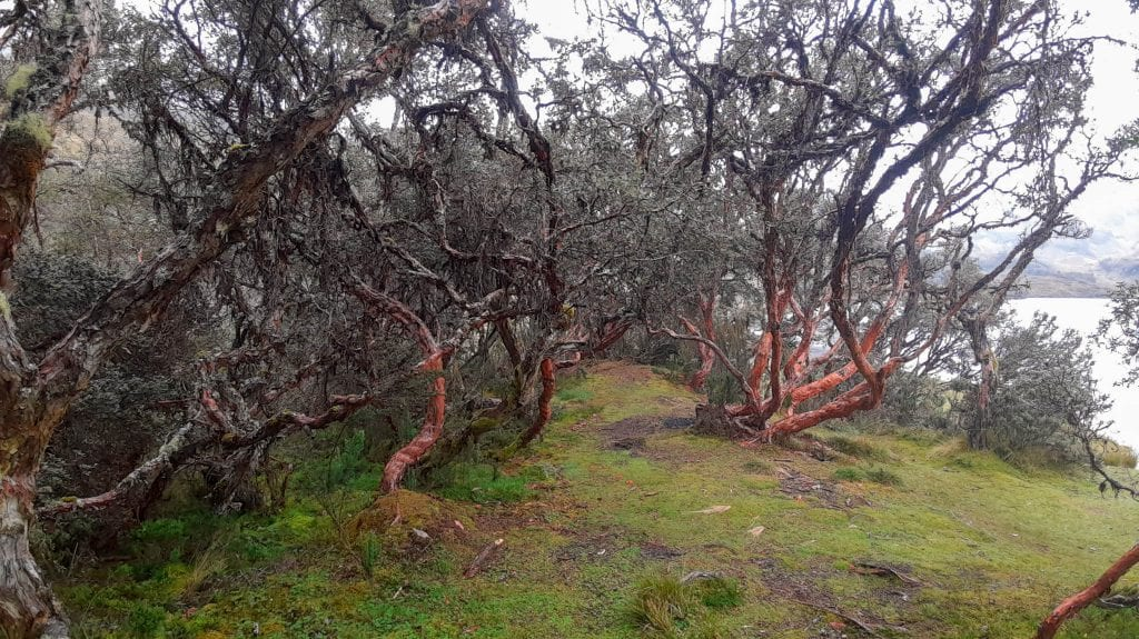 Polylepis forest in Cajas National Park a day trip from Cuenca, Ecuador. #visitecuador