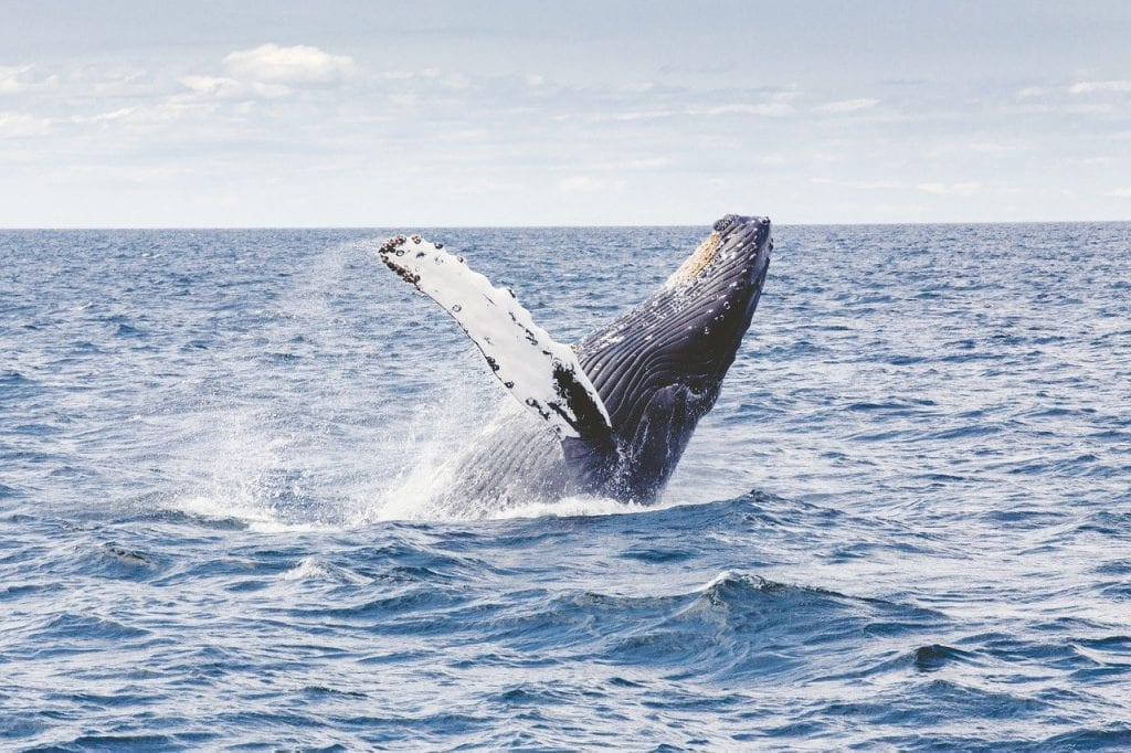 Whale watching in New England should be apart of any Cape Cod Travel Guide.